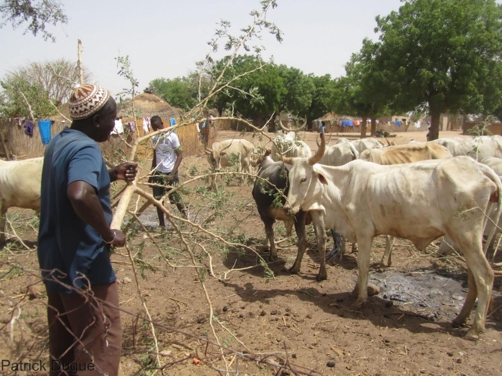 Alimentation des bovis avec des feuilles de Faidherbia Albida (Sénégal) - ©Cirad, Patrick Dugué