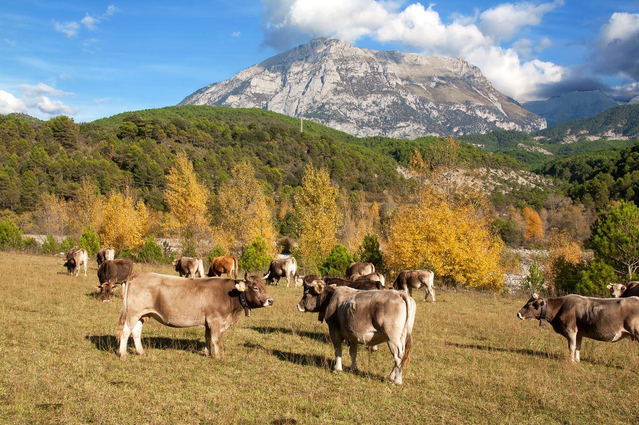 Vaches Aubrac Pyrénées